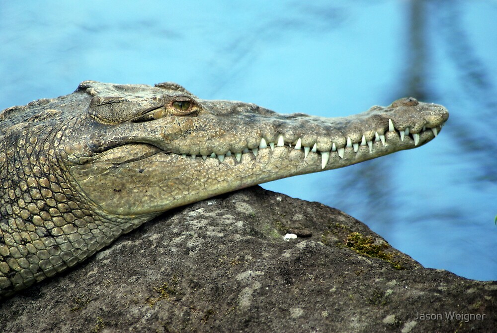 """American Crocodile (Crocodylus Actus) - Costa Rica"" By intérieur Crocodile"