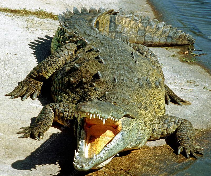 American Crocodile - Stock Image - Z760/0038 - Science intérieur Crocodile