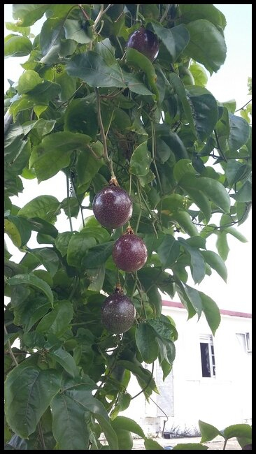 Arbres Fruitiers Et Leurs Fruits - Le Blog De Babeth à Les Noms Des Arbres Et Leurs Fruits