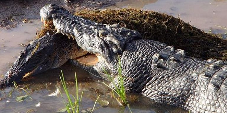 Australie: Un Crocodile Croque Un Congénère Sous Les Yeux tout Les Gros Crocodiles