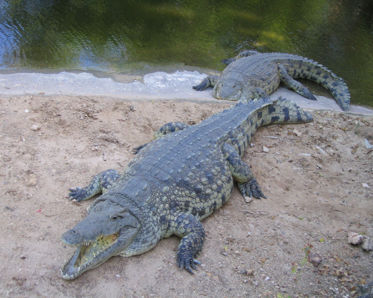 Best Jungle Life: Crocodiles & Crocodile Pics dedans Crocodile
