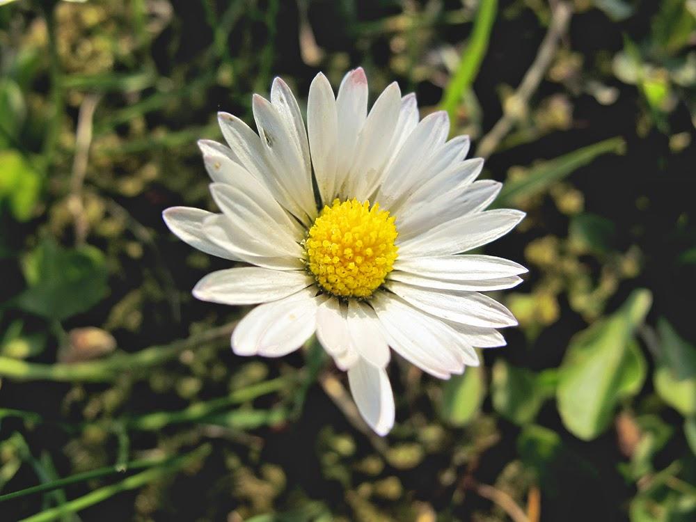 Carnet Nature: Pâquerette à Photo De Paquerette