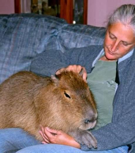 Découvrez Le Capybara, Le Plus Gros Rongeur Du Monde pour Le Plus Gros Ver De Terre Du Monde