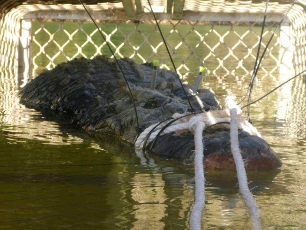 En Australie, Un Crocodile Géant Capturé Par Mesure De serapportantà Plus Gros Crocodile