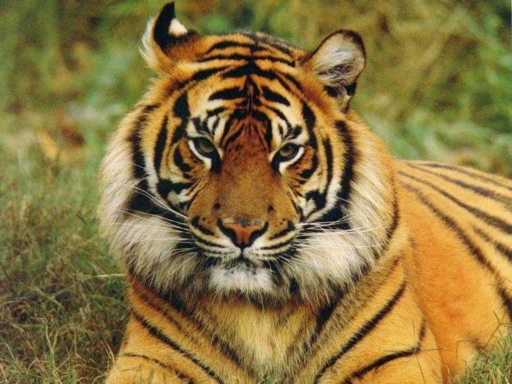 Épinglé Par Buffard Helene Sur Modeles Peinture-Tigres intérieur Tigre Savane
