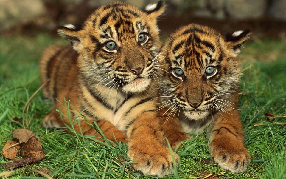 Épinglé Par Corinne Visnikar Sur Tigres   Bébé Tigre destiné Tigre Savane