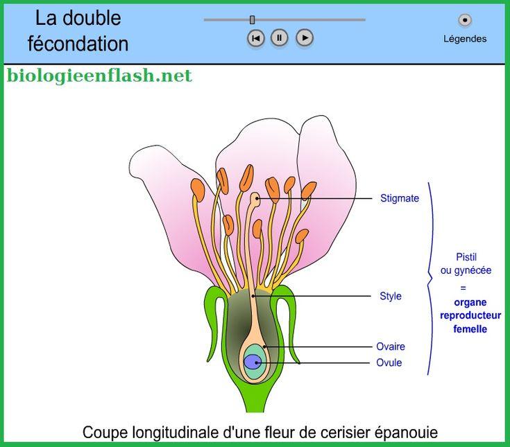 Fécondation Chez Les Fleurs | Planter Des Fleurs dedans Schéma D Une Fleur