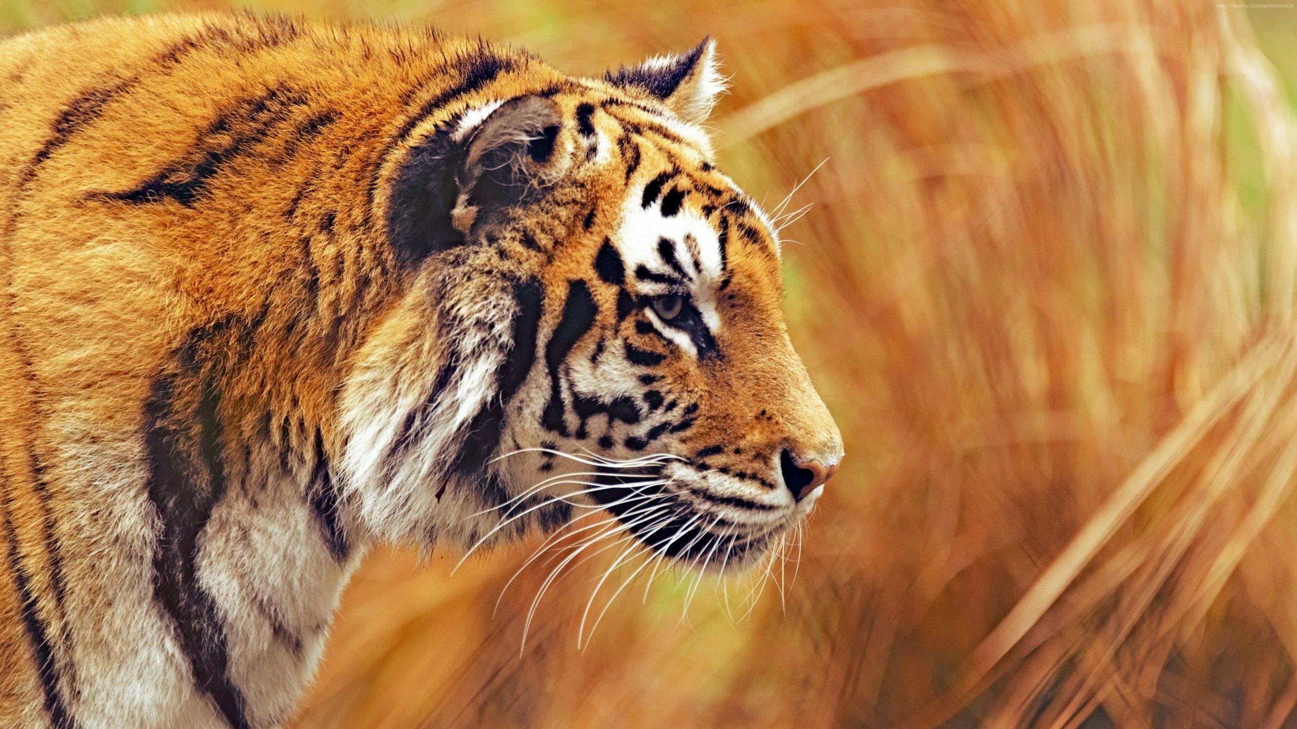 Fond D'Écran : Animaux, La Photographie, Tigre, Faune dedans Tigre Savane