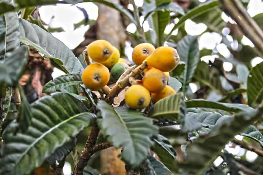Fruit Réunion : Bibasse - Bibace-Nèfle Du Japon, Fruit pour Image De Fruit