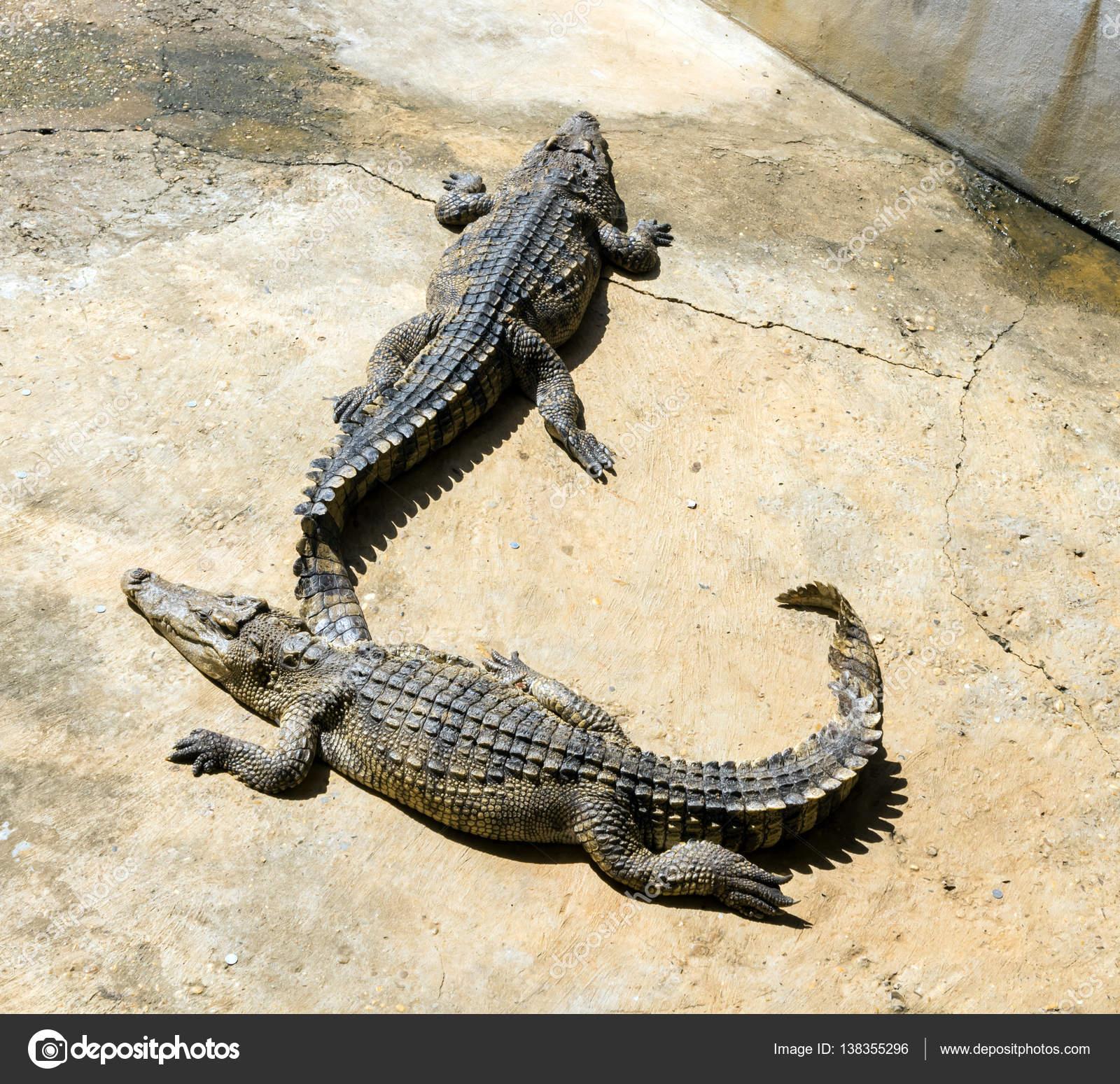 Gros Plan De Crocodile Avec Lumière Du Soleil avec Les Gros Crocodiles