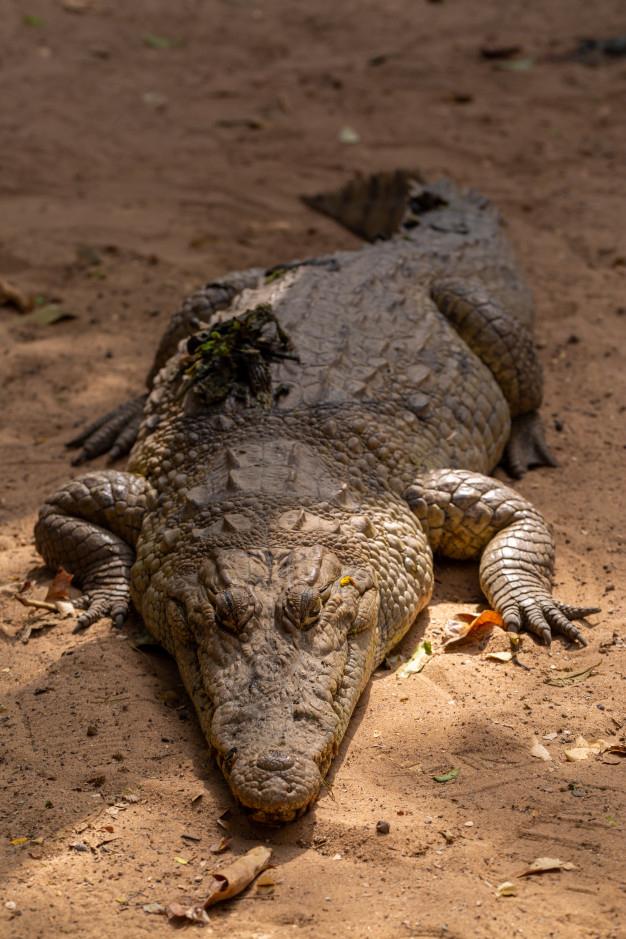 Gros Plan D'Un Énorme Crocodile Rampant Sur Le Sol Au pour Les Gros Crocodiles
