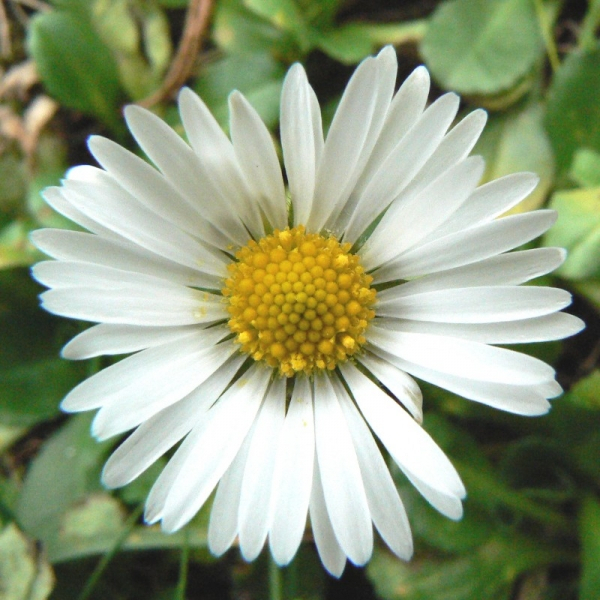 Huile De Macération De Fleur De Paquerette - Huile De concernant Photo De Paquerette