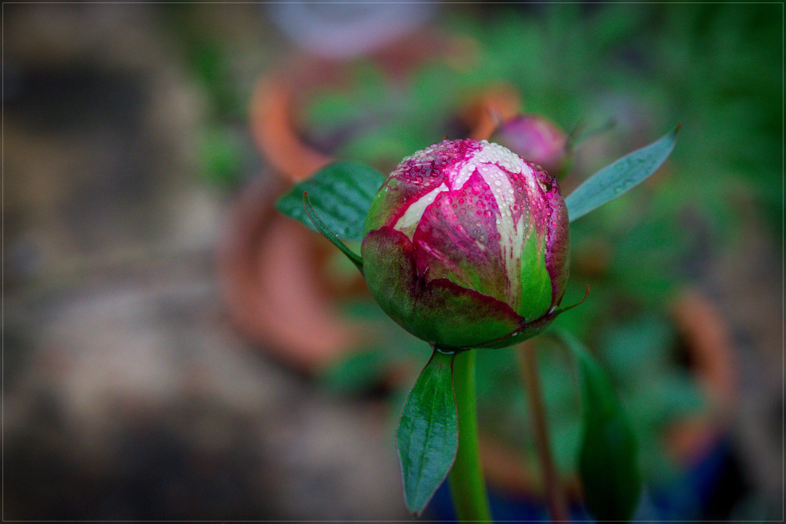 Images Gratuites : Pivoine, Fleurs, Printemps, Été, Jardin serapportantà Fleurs Printemps