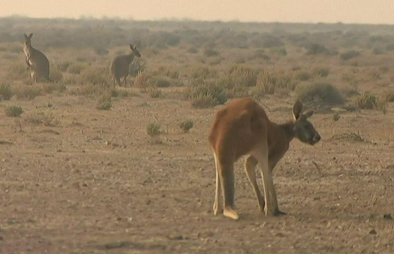 Incendies En Australie: Combien De Feux ? Est-Ce Lié Au encequiconcerne Nombre De Kangourou En Australie
