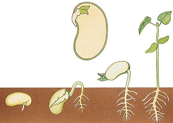 La Germination Et La Croissance D'Une Graine   La destiné Plantation Haricot Maternelle