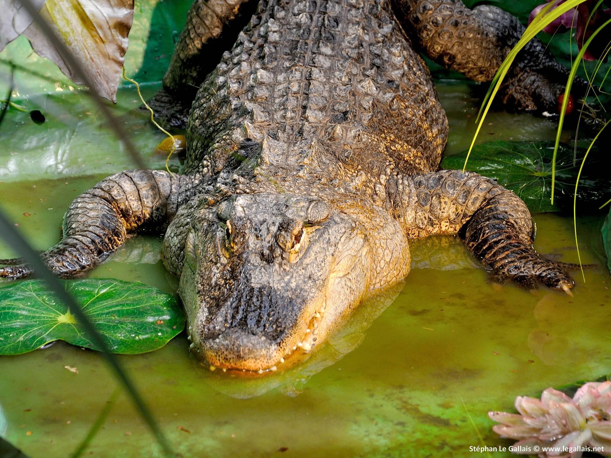Le Crocodile De L'Étang - Rencontre Insolite Le 26-04-2016 serapportantà Les Gros Crocodiles
