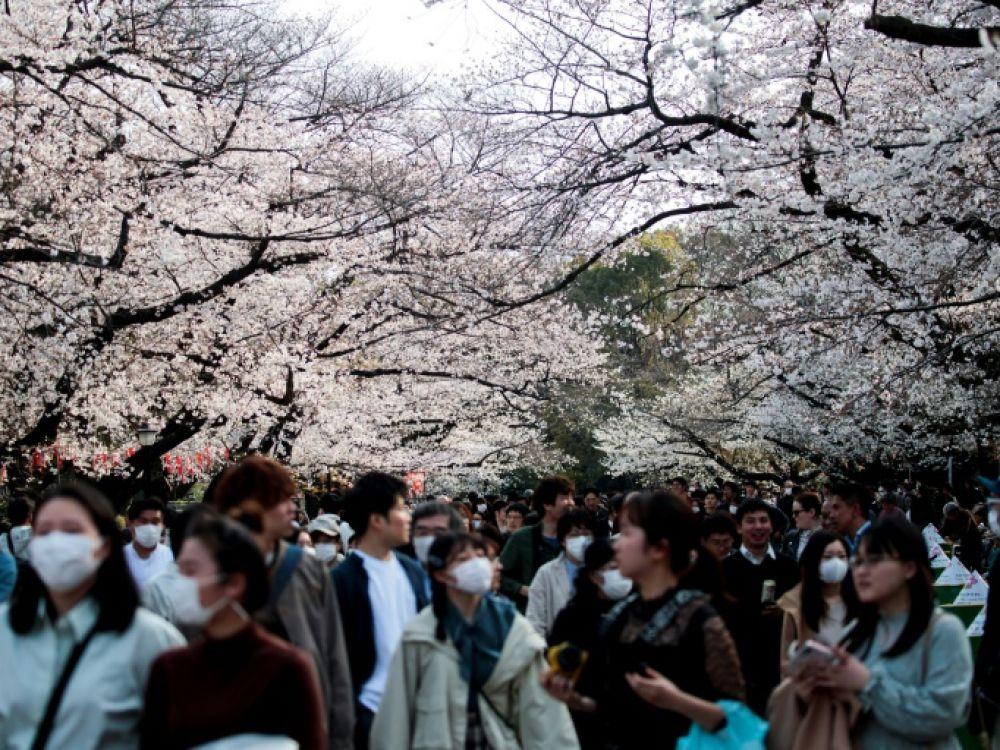 Malgré Le Virus, Le Japon Fête Les Fleurs De Cerisier pour Joie Du Printemps