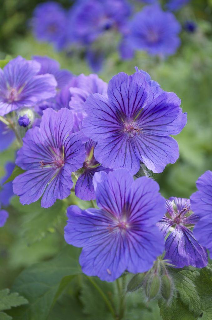 Nom De Plante Vivace - Du Japon Et Des Fleurs encequiconcerne Fleurs De Jardin