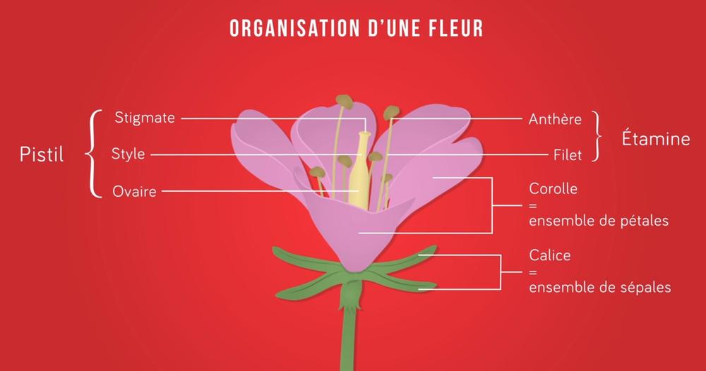 Organisation Des Plantes À Fleurs : La Pollinisation intérieur Schéma D Une Fleur
