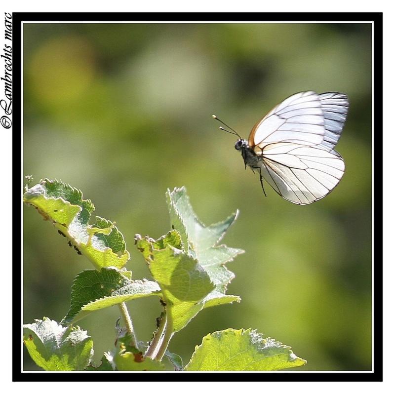 Papillon En Vol avec Vol Papillon