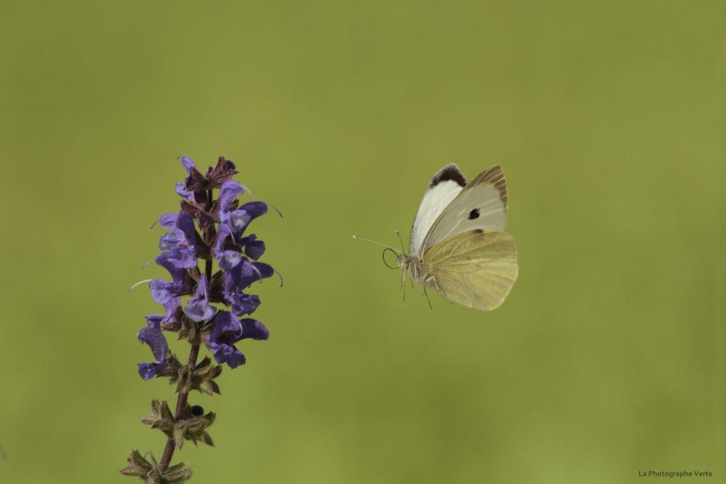 Papillon En Vol - La Photographe Verte serapportantà Vol Papillon