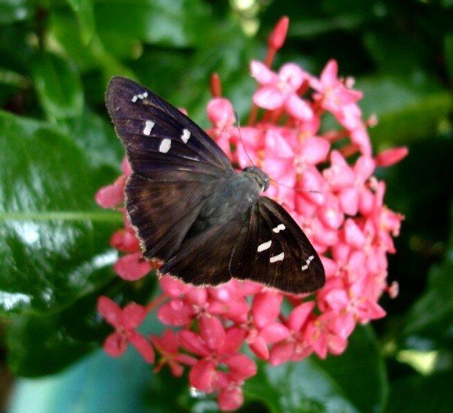 Papillon Vole - Les Saintes # 6 - Un Jour Over The Rainbow concernant Vol Papillon