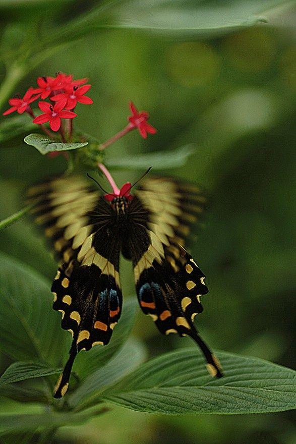 Papillonvolepapillon | Beautiful Butterflies destiné Vol Papillon