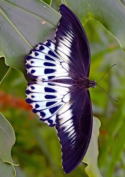 Papillonvolepapillon | Vackra Fjärilar, Fjärilar Och tout Vol Papillon