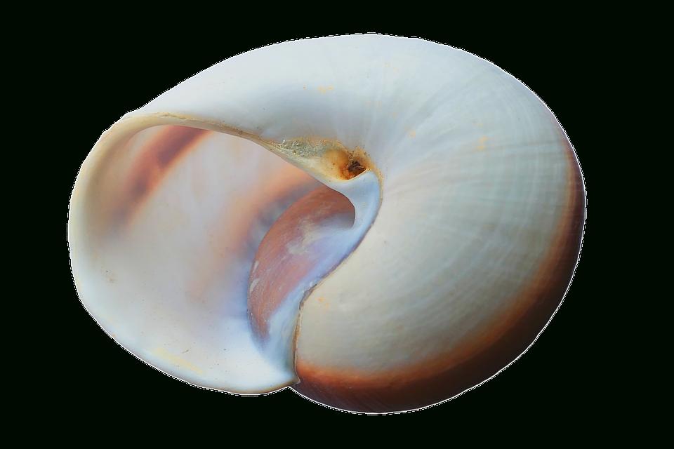 Photo Gratuite: Coquillage, Coquilles, Mer, Blanc - Image avec Coquillage Mer