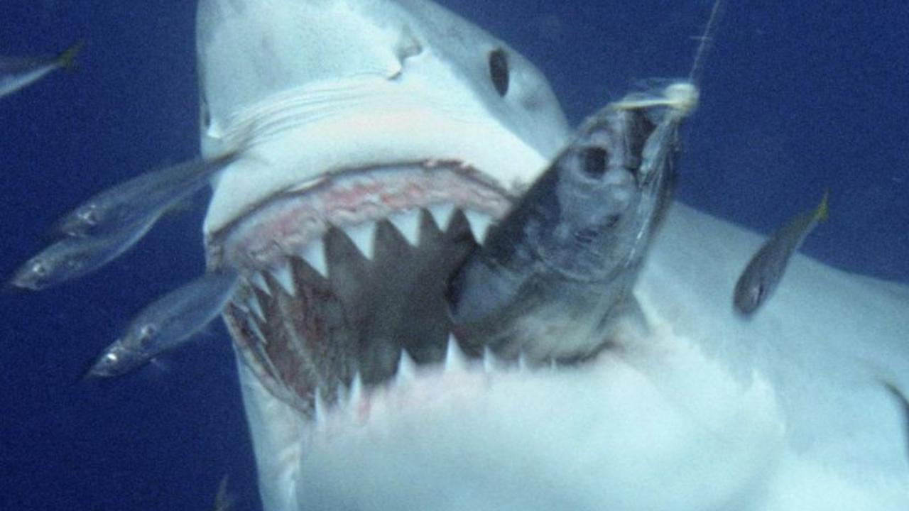 Photos - Le Plus Gros Requin Blanc Du Monde, 7 Mètres pour Le Plus Gros Ver De Terre Du Monde