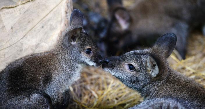 Sept Petits Kangourous Sauvés Du Feu En Australie Trouvent dedans Nombre De Kangourou En Australie