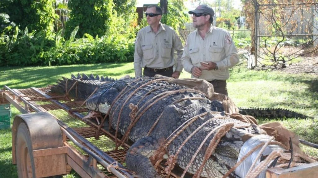 Un Crocodile De 4,7M Capturé En Australie, Une Traque Qui tout Plus Gros Crocodile