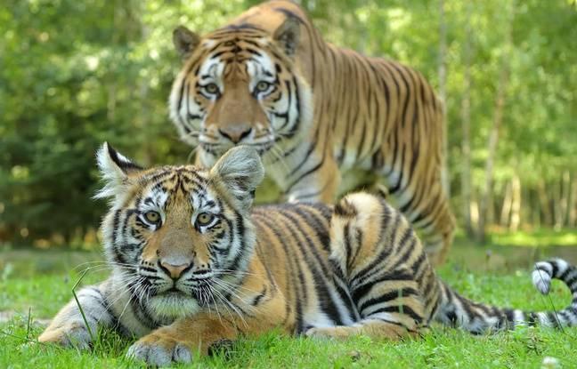 Video. Du Tigre De Malaisie Au Lion D'Afrique, Les Félins intérieur Tigre Savane